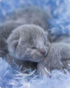 Fancy - Russian Blue kitten