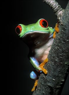 Red Eyed Tree Frog by Patrick Zephyr Nature Photography