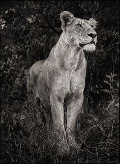 Nick Brandt Photography, LIONESS AGAINST DARK FOLIAGE, SERENGETI, 2012