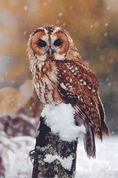 Tawny Owl, Scotland - FeedPuzzle Fed onto Wild but Cute Owl Pictures :)Album in Animals Category Beautiful Owl, Animals Beautiful, Cute Animals, Funny Animals, Owl Photos, Owl Pictures, Strix Aluco, Animal Categories, Tawny Owl