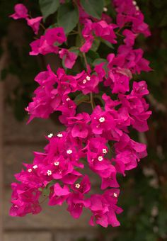 #Bouganvilla.  I'm so excited that my bouganvilla is blooming so beautifully.