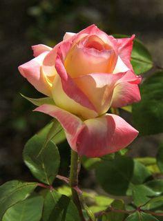 Beautiful Rose Flowers, Love Rose, All Flowers, Amazing Flowers, Yellow Roses, Pink Roses, Pink Yellow, Purple, Ronsard Rose