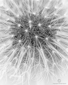 Dandelion [dandelion, Taraxacum officinale, Asteraceae]