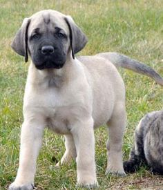 "The breed is commonly referred to as the ""Mastiff"". Also known as the English Mastiff this giant dog breed gets known for its splendid, good nature. American Mastiff, British Mastiff, Mastiff Breeds, Mastiff Dogs, Giant Dog Breeds, Giant Dogs, Wallpaper English, English Mastiff Puppies, Big Dogs"