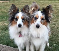 "Blue Merle Sheltie babies, """"Cagney & Lacey""!"