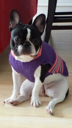 French bulldog puppy with sweater
