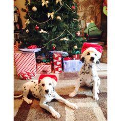 Santa hat Dalmatian! Can't wait!