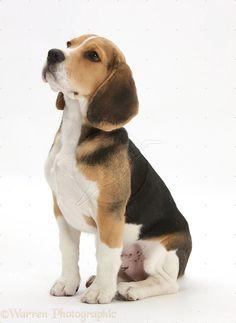 Aww #beagle! I bet his ears are so soft