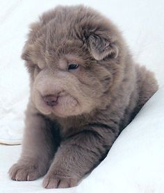 Blue Bear Coat Shar Pei Google Search