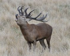 Red stag in the rut