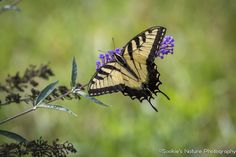 Eastern Tiger Swallowtail, Hottest day but best day for butterflies in my yard. Loving the…