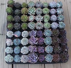 "hellyeahsucculents: "" A ton of beautiful echeverias """