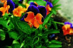 Add gusto to your garden with these flavorful, edible flowering plants that you can harvest for culinary purposes.