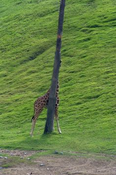 Giraffes are great at hide and seek!
