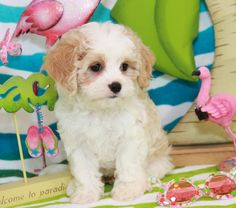 Cavachon (Cavalier King Charles Spaniel & Bichon Frise). If I ever get a dog, it will be this one. They basically look like puppies forever. Soooo cute!