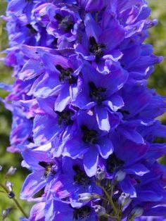 Plants with blue flowers - larkspur (Delphinium)