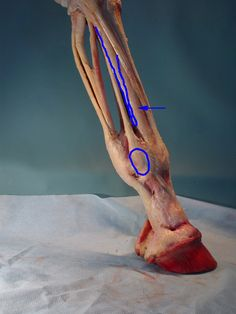 Very clear photos of the tendons and ligaments in the equine distal limb.