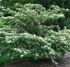 Pagoda Dogwood: A beautiful tree with branching that can create a layered or tiered appearance.  Produces clusters of fragrant white flowers in late summer, which are followed by purplish-black berries.  Green summer foliage picks up purplish tones in the fall.