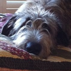 Jack 💚 I just LOVE this Irish Wolfhound, 10 months Bedlington Whippet, Irish Wolfhounds, Bearded Collie, Dog Id, Gentle Giant, Big And Beautiful, Homesteading, Fur Babies, Dogs And Puppies