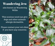 Wandering Jew can cause allergic dermatitis in pets