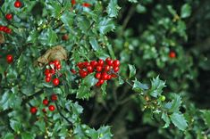 Growing holly bushes in your yard can add yearround interest. Because they are such popular plants, many people have questions about the care of holly bushes. Read this article to learn more about growing holly. Bushes And Shrubs, Garden Shrubs, Garden Trees, Garden Plants, Garden Angels, Moss Garden, Shade Garden, Small Evergreen Shrubs, Evergreen Garden
