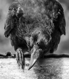 Your daily raven by Wendy Davis Photography. I like how it shows the Raven's innate curiosity. Raven And Wolf, Quoth The Raven, Arte Inuit, Crow Images, Blackbird Singing, Crow Bird, Dark Wings, Raven Art, Jackdaw