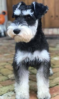 Pin by Kathy on L♡VE SCHNAUZERS 15 Pinterest