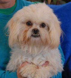 Brando loves to be fawned over and complimented for his exceptionally sweet temperament and cute personality.  He is a young Maltese mix with an adorable underbite, 1 year of age, a neutered boy, debuting for adoption today at Nevada SPCA (www.nevadaspca.org).  Brando loves people and dogs.  Please plan and budget for regular professional grooming for him.
