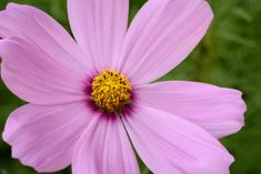 Free Nature Photos & Videos on ISO Republic - Free Photos & Videos Beginner Drawing Lessons, Drawing For Beginners, Free Photos, Free Stock Photos, Cool Photos, Flower Images Free, Free Images, Cosmos Flowers, Pink Flowers