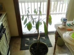 growngive avocado tree safe inside after thanksgiving. 11/26/15