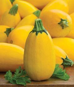 Squash Summer Golden Egg Hybrid   Garden Seeds and Plants