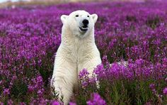 A Polar Bear in the fireweed surveys the territory during summer in Alaska. L