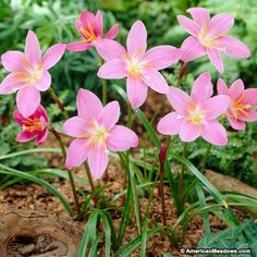 Pink Rain Lily Flowers, Zephyranthes
