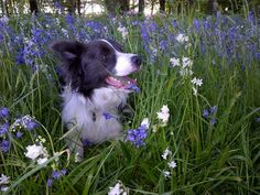 A blue border collie in bluebells.