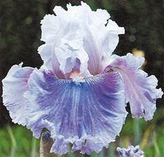 Frill Of It All (Barry Blyth Tall bearded iris, 38 cm), ML. AUSTRALIA Flower: S. blended lavender to opal lavender deepening at hafts, edge of S. Iris Flowers, Planting Flowers, Beautiful Flowers, Flowers Garden, Exotic Flowers, Purple Flowers, Garden Shrubs, Garden Plants, Iris Garden