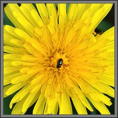 Dandelion / ATTRACTS: Quail for seeds and edible leaves (the only plant that stays green all Winter). Important during migration. Will also attract Mourning Doves.