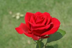Mother's Value | Ludwigs Roses : The urn shaped buds are sharply pointed & unfold slowly into large full blooms. The colour is an unusual clear carmine-red. It is the first to flower in spring and keeps up a relentless production of long stemmed florist quality blooms deep into winter.