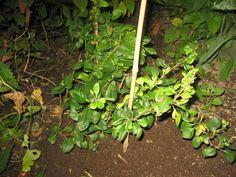 Japanin ruusukvitteni omista siemenistä kylvetty 2015