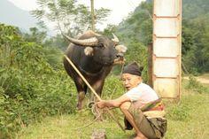 Buffle de Pu Luong Vietnam #asienouni