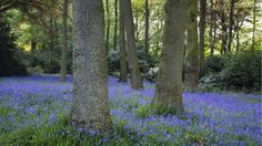 The woods close to Stourhead house are filled with bluebells during Spring © Stourhead images