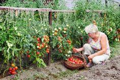 МОИ СЕКРЕТЫ:  Люблю высокорослые сорта томатов. Я сажаю по 2 растения, выравнивая верхушки, соединив стебли вместе. Они друг друга поддерживают.Сажаю в траншейки, что бы полив достиг не на 3 см, а пр… Vegetable Bed, Vegetable Garden Tips, Garden Plants, Summer House Garden, Home And Garden, Balcony Garden, Strawberry Seed, Sodas, Garden Images