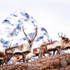 2/3  Stalking #caribou  What's not to like about watching caribou backdropped by the snow capped Alaskan mountains? Absolutely nothing.  Definitely one of the highlights of my month long stay in beautiful Alaska. This image had been one of the many which was featured in the papers back home (UK). It's was the beginning of several milestones for me in terms of recognition for my work throughout 2015.  I'm capping off this eventful year by sharing some of my favorite images in a form of a…