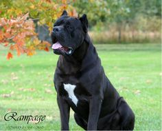 StoneRidge Cane Corso - Cane Corso Breeding Program Located in Ohio producing health guaranteed puppies that are beautiful in type and sound in mind. Cane Corso Breeders, Cane Corso Mastiff, Cane Corso Puppies, Kinds Of Dogs, Canes, Big Dogs, Beautiful Dogs, Mans Best Friend, Pitbulls