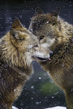 Two wolves saying hello