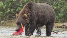 Katmai, Alaska: a casa degli orsi grizzly, brividi freddi Orsi Grizzly, Black Bear, Brown Bear, Alaska, Blog, Travel, Animals, Viajes, Animales
