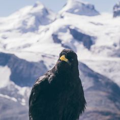 Alpine choughs, also known as Alpendohle, are pretty common on top of the Swiss alps. They can be cheeky, specially if you have a piece of bread with you. Piece Of Bread, Zermatt, Swiss Alps, The Guardian, Bald Eagle, Switzerland, Birds, Pretty, Top
