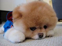 boo the dog breed colors