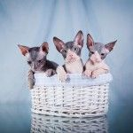 9 Exotic Cat Breeds You May Have Never Seen Before