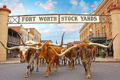 The Herd - Daily Longhorn Cattle Drive | Fort Worth CVB