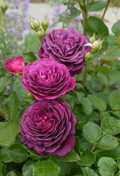 rose 'Ebb Tide'